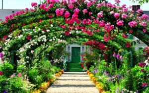 beautiful garden with rose