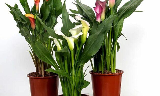 calla zantedeschia flower group blossom bloom common calla plant houseplant