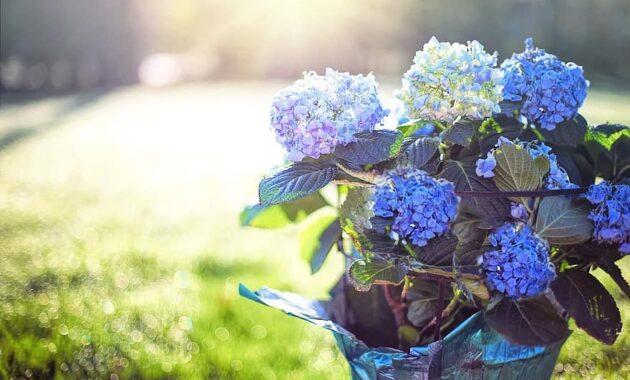 hydrangea blue purple flowers pot morning sunshine spring bloom