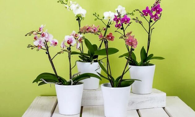 orchids phalaenopsis flower butterfly orchid blossom bloom plant queen of flowers the phalaenopsis orchid