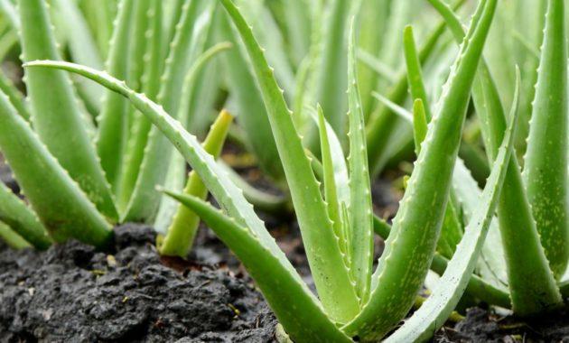 Obat Herbal untuk Wasir
