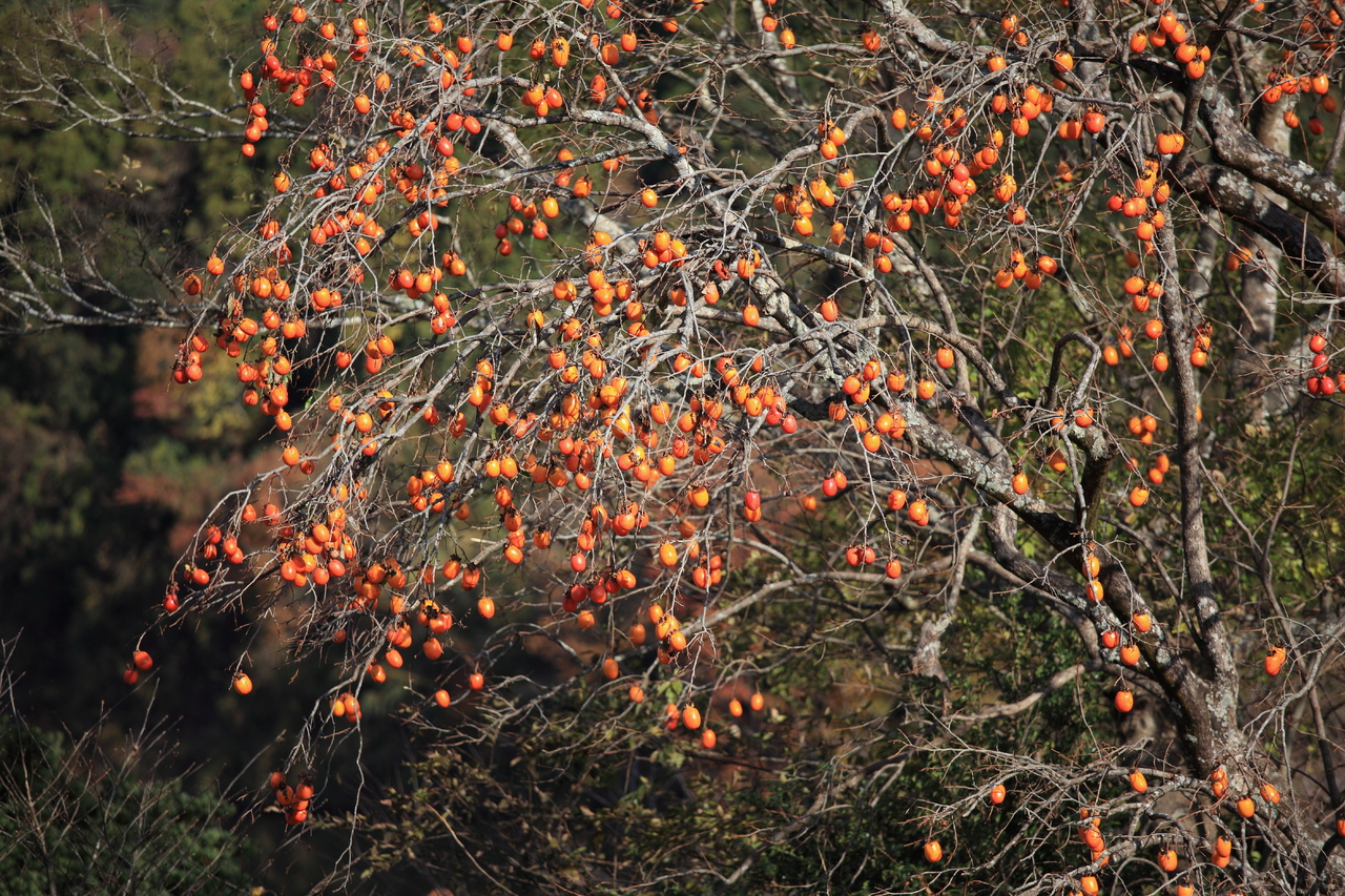 persimmon tree for front yard landscaping ideas