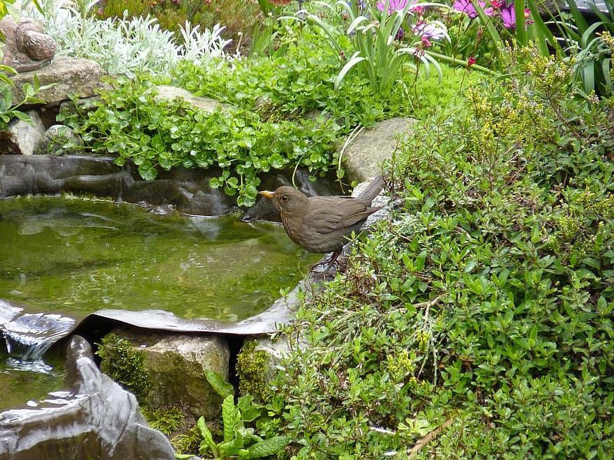 thrush bird songbird garden pool water blackbird rock thrush aves