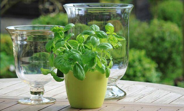 basil herbs green fresh food plant healthy pot herb pot