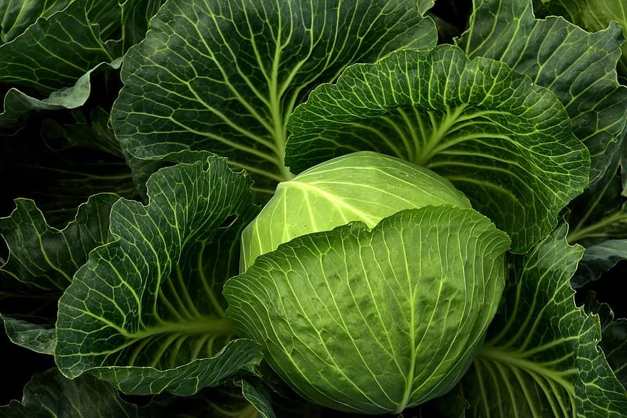 cabbage cultivation vegetables healthy cabbage field green food agriculture leaves