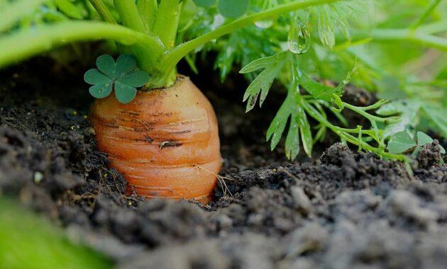 carrots vegetables healthy cultivation garden vitamins foodstuffs