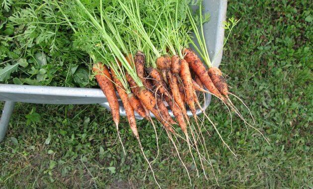 carrots vegetables plants home garden self grown organic