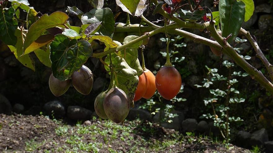 ecuador cuenca south america andes latin america fruit plant tree tomato