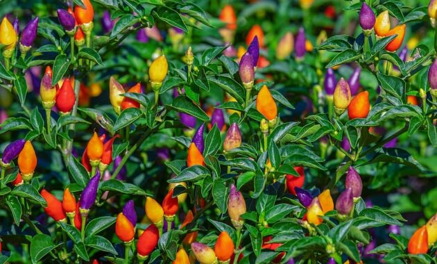 paprika pods colorful fiery sharp vegetables food pepper crop healthy
