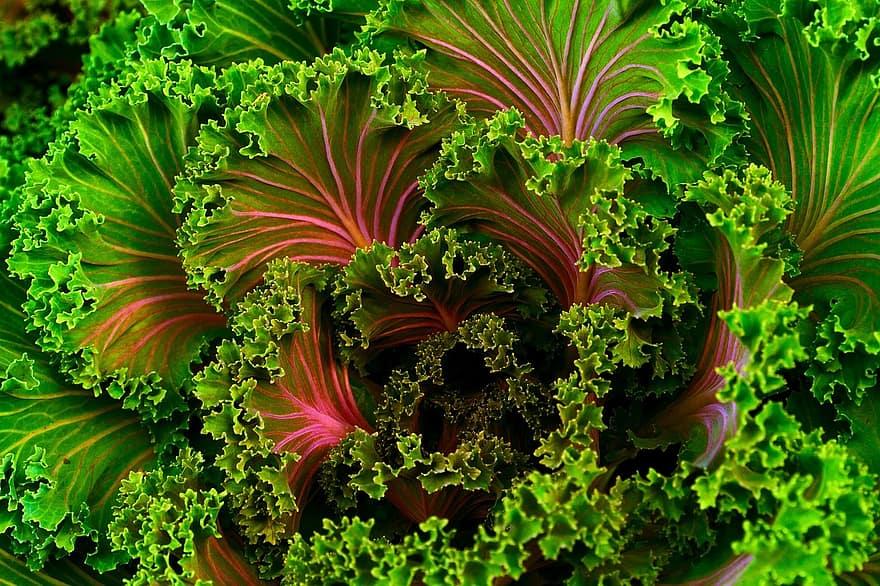 plant mangel kale food healthy vegetable fresh nutrition chard