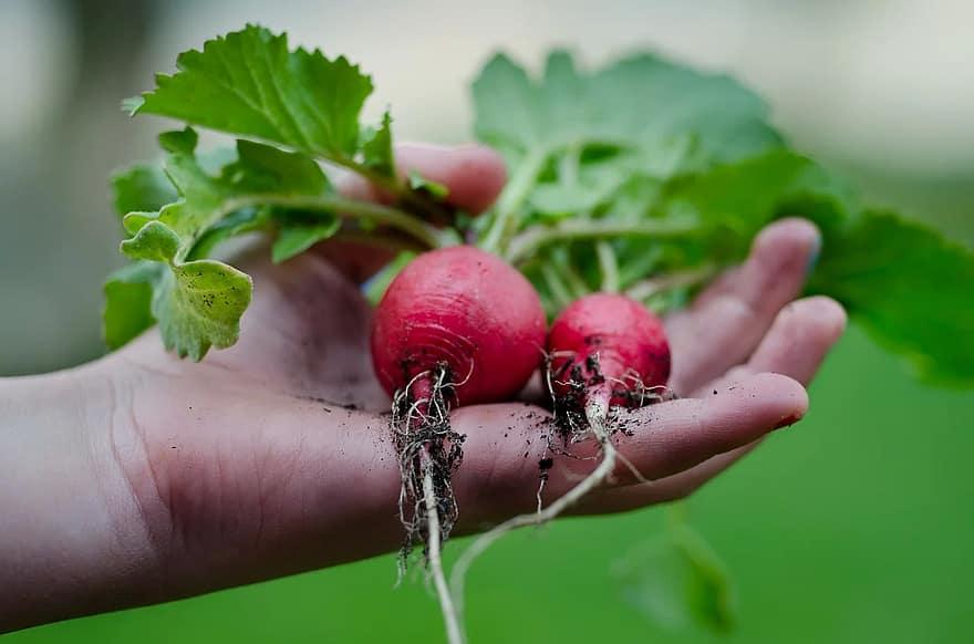 radish hand green kitchen leafs vegetarian healthy recipe gardening