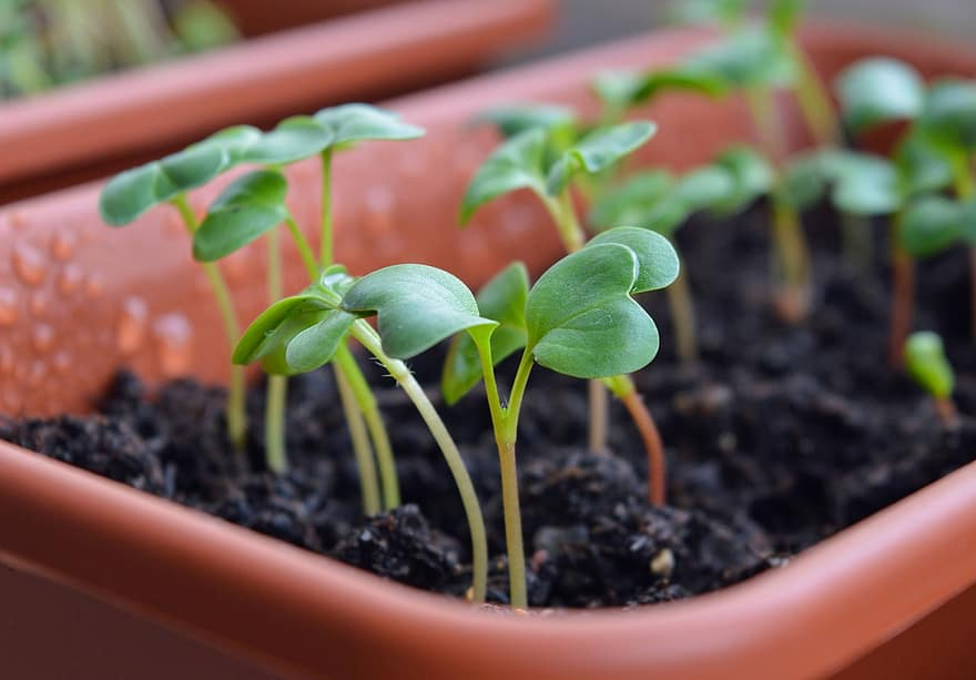radish sprouts seedling seedlings why vegetable garden radishes sprouts dacha grows
