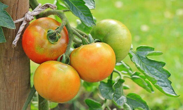 tomatoes vegetables nachtschattengewachs food crop garden food red green healthy