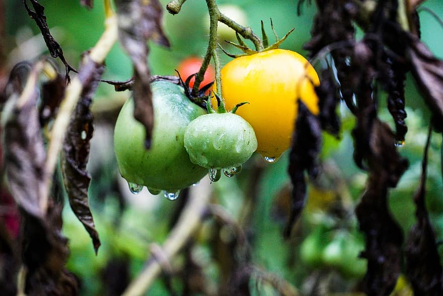 tomatoes vegetables tree branches organic healthy food garden rain