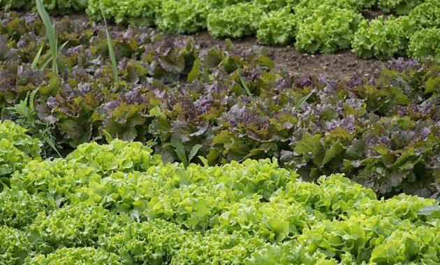 vegetables gardener vegetable garden salad