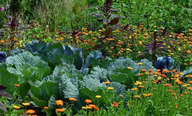 white cabbage garden vegetable growing harvest herb agriculture herb cultivation crop vegetables