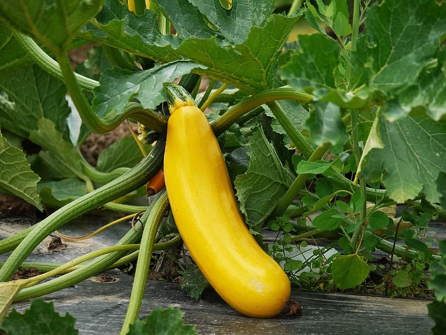 zucchini vegetables cultivation vegetarian vegan stand out individual yellow garden