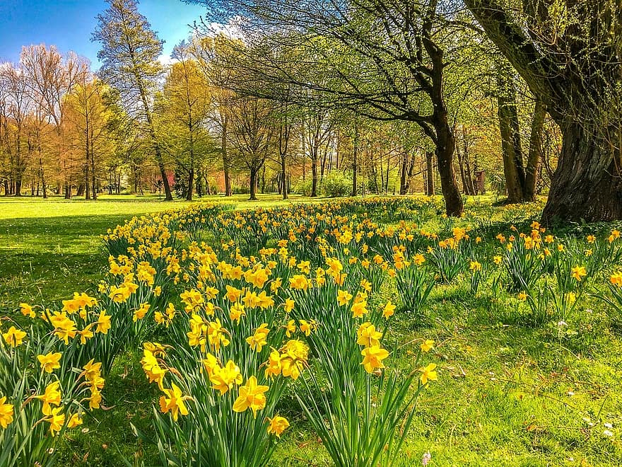 daffodils osterglocken park spring bad kissingen the luitpold park easter flowers flower meadow