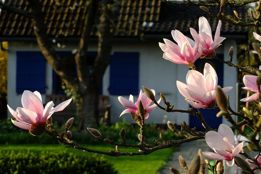 magnolia flowers spring may blossom bloom garden garden shed hobby garden