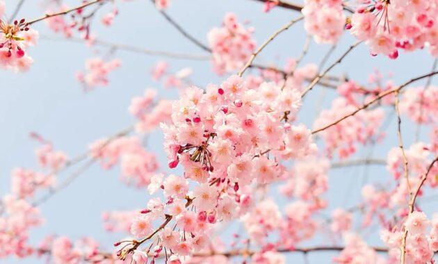 cherry tree flowering tree blooming pink flowers plant spring cute wallpaper