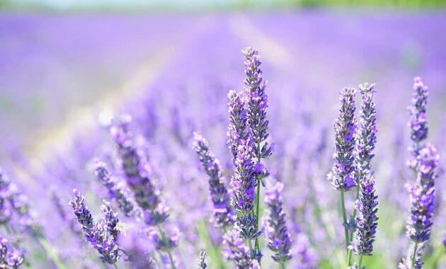 lavender blossom lavender purple violet lavender field flowers flora floral lavender flowers