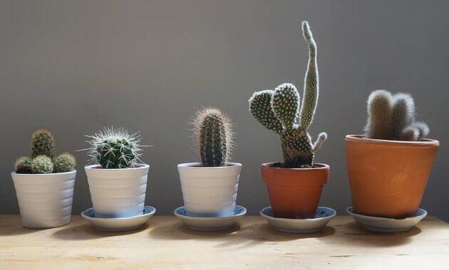 cactus plants home table garden small