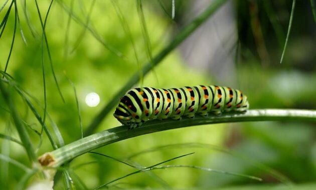caterpillar swallowtail caterpillar butterfly caterpillar stage of development Get Rid of Spider Mites
