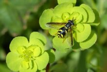 hoverfly false bee nature flower plant leaf outdoors