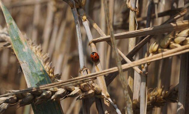 ladybug beetle siebenpunkt coccinella septempunctata coccinella animal insect red spotted