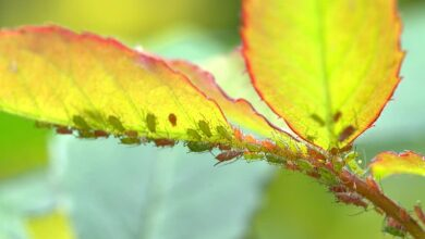 large rose aphids aphids louse lice infestation pests insect macro graphy insect infestation