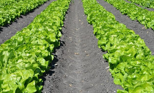 lettuce row agriculture plant farm harvest nature garden growth