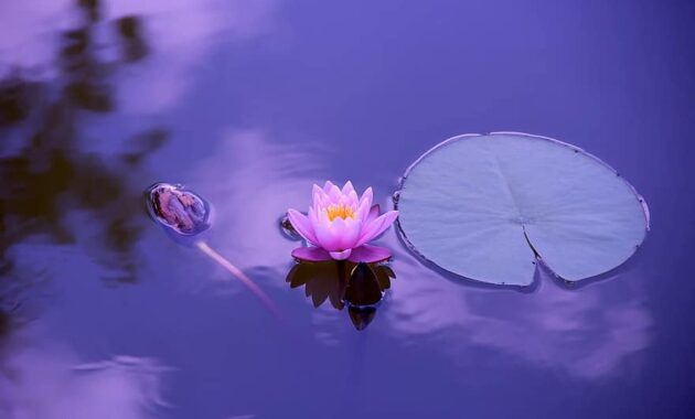 lotus natural water meditation zen spirituality harmony relaxation nature