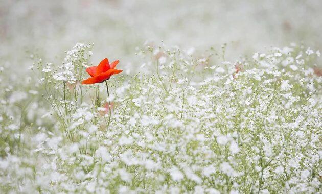 poppy gypsophila elegans red color white garden red flower