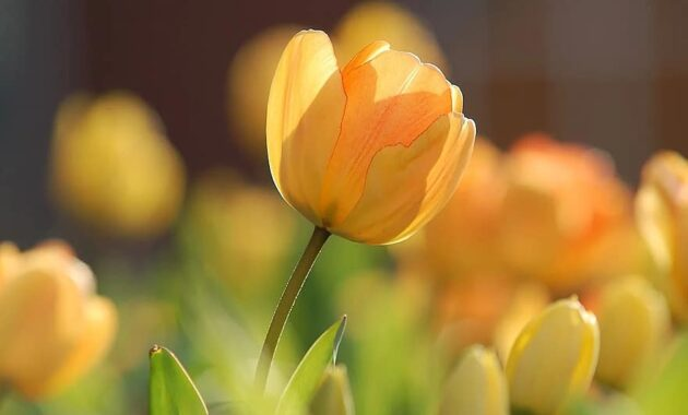 tulip yellow bright spring floral blossom natural garden springtime Get Rid of Spider Mites